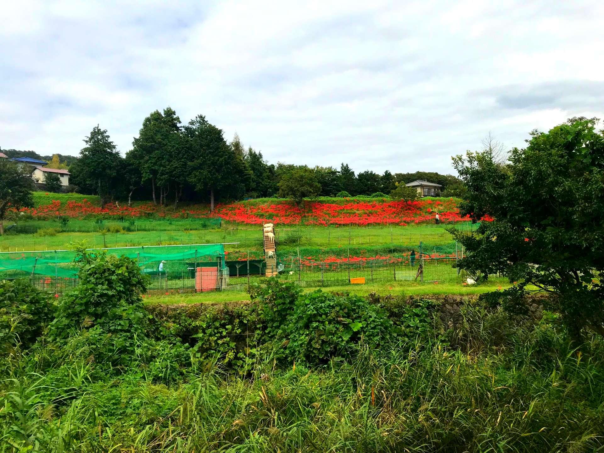 彼岸花赤红热情的色彩与静谧恬静的农村景色交织相融