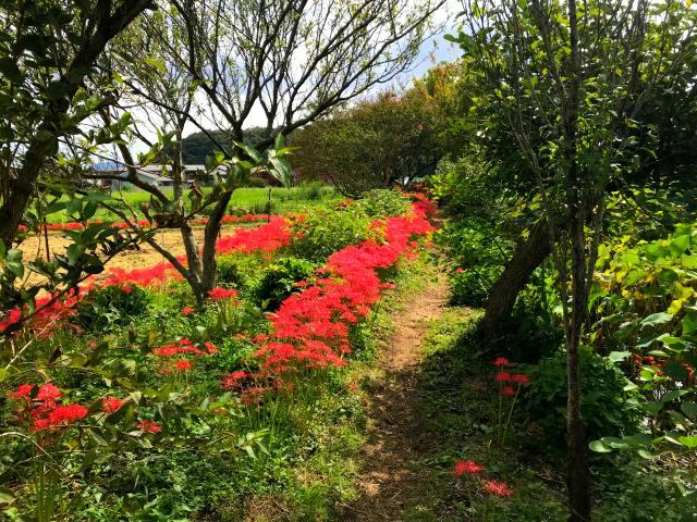 日向藥師的彼岸花!神奈川之秋一道亮麗的風景線!