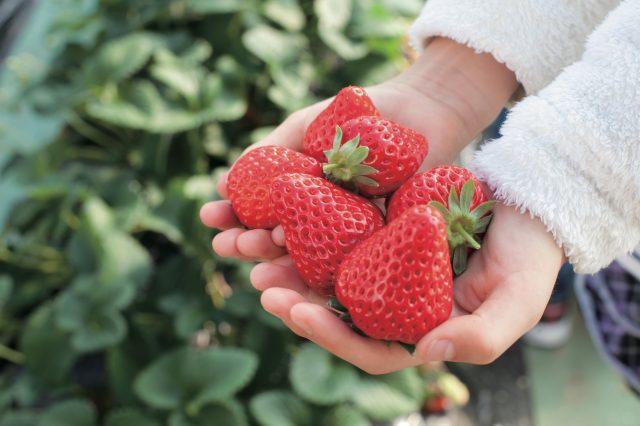 快来品尝高品质的草莓!