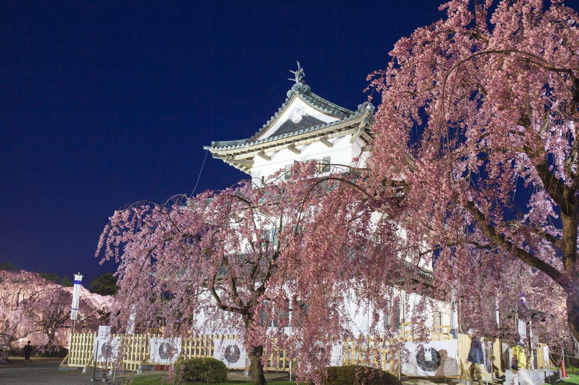 弘前城與櫻花(石牆正在修復中)