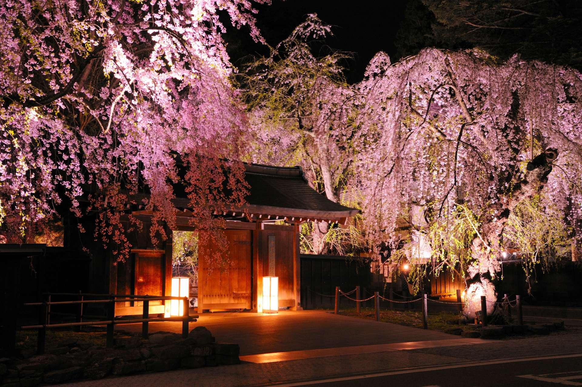 灯光映照下的樱花
