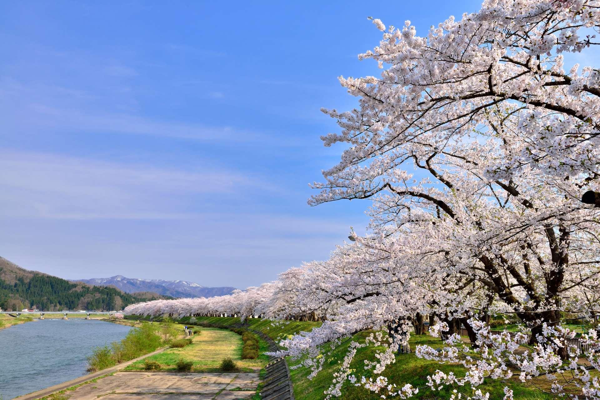 残雪犹存的群山与樱花相互辉映的桧木内川美景