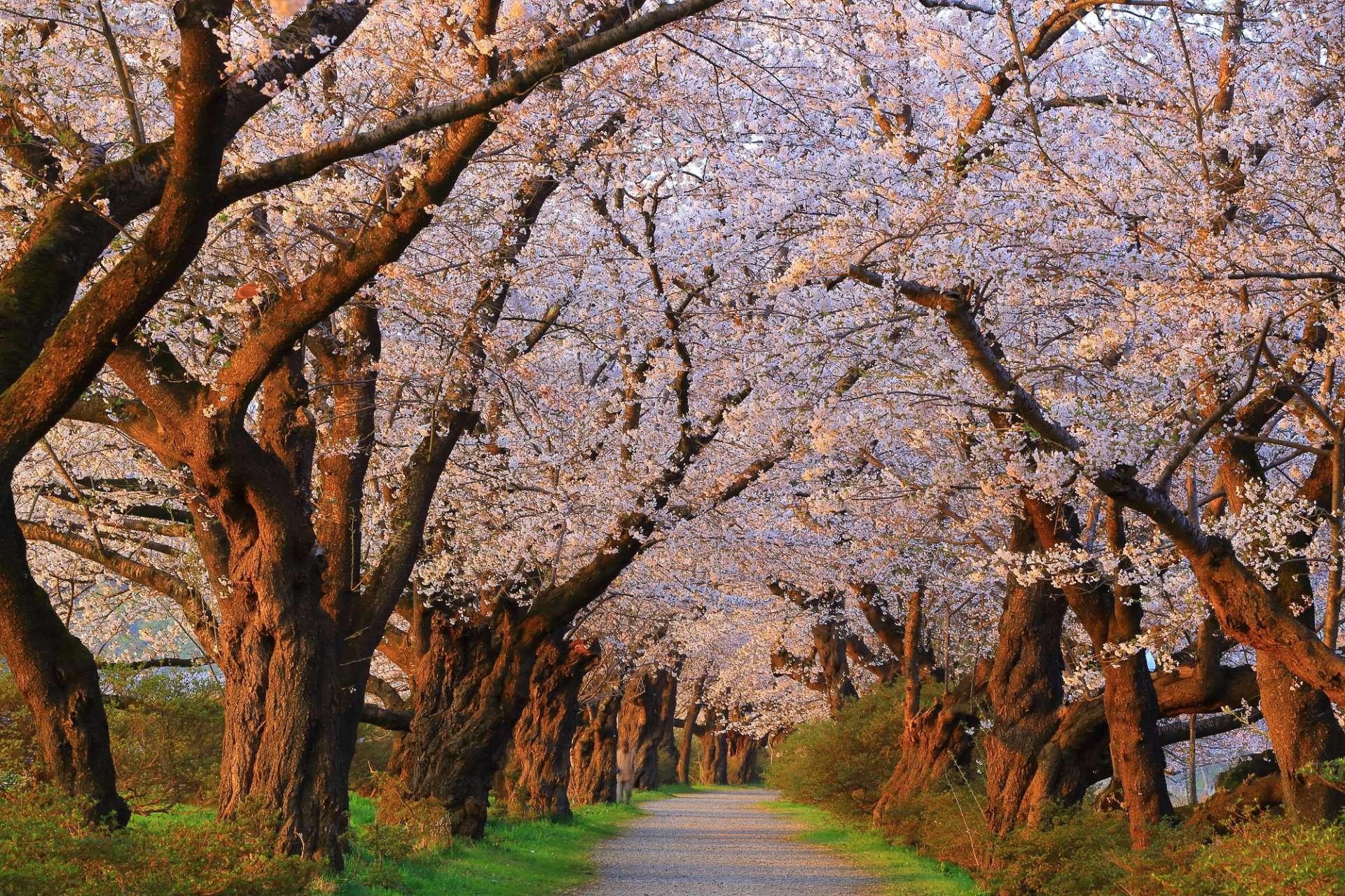 竞相开放的樱花形成美丽的樱花隧道