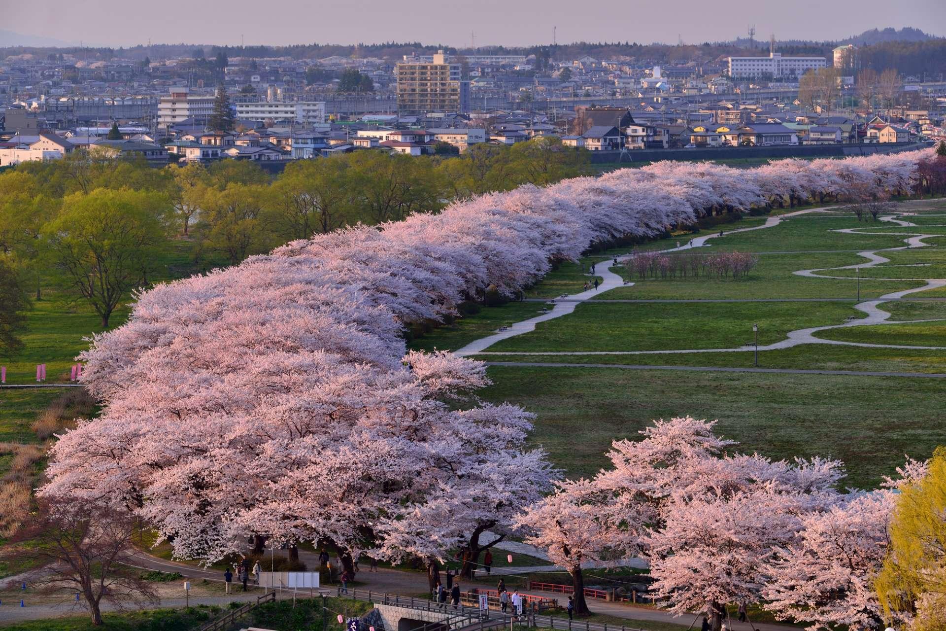 從陣丘望去的櫻花並木