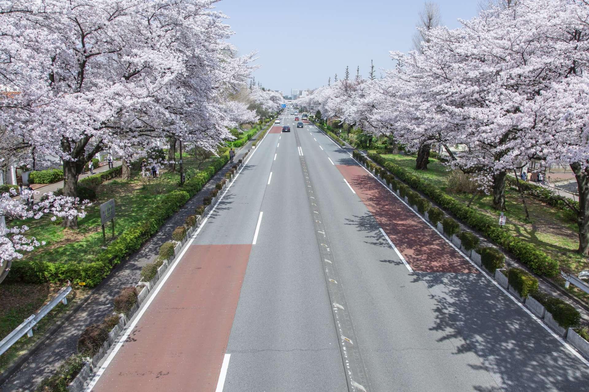Cherry blossoms along Kunitachi Daigaku Dori