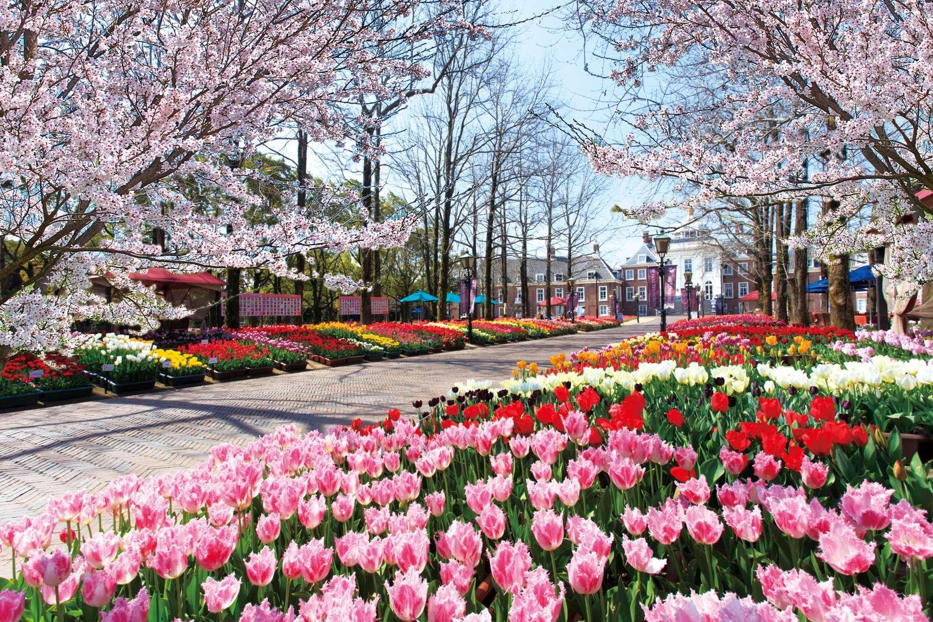 鬱金香與櫻花共演的美麗景色