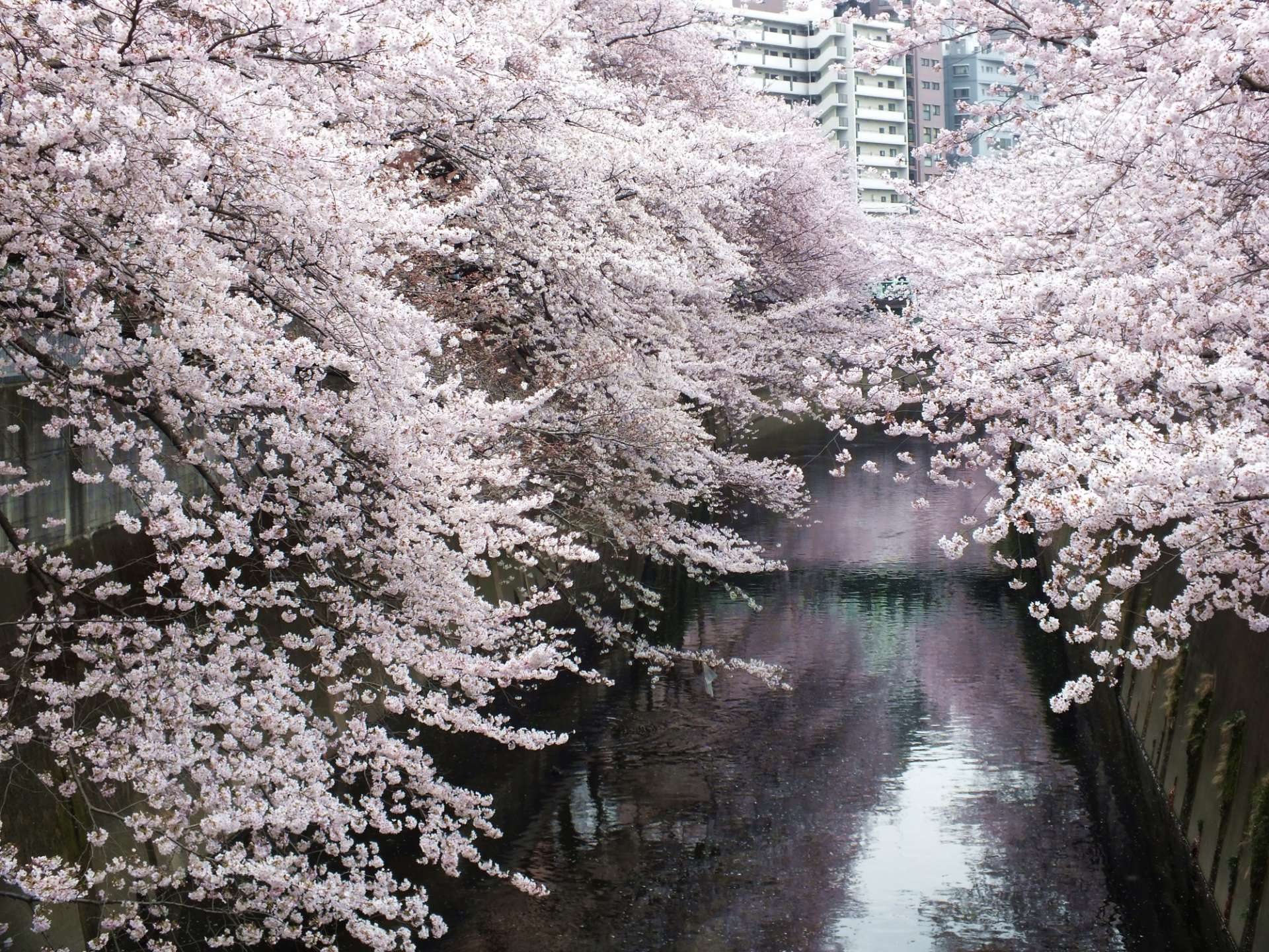 Cherry blossoms along the Kanda River, as seen from Omokagebashi Bridge
