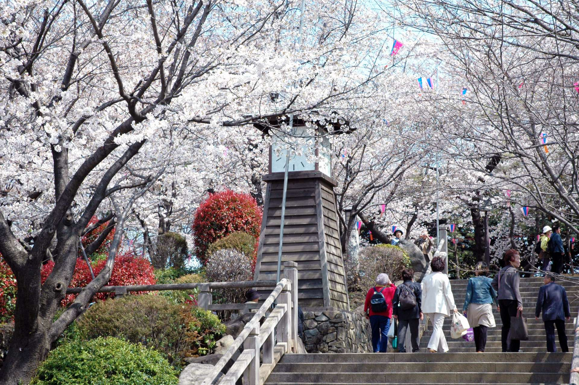 Cherry blossoms at Asukayama Park