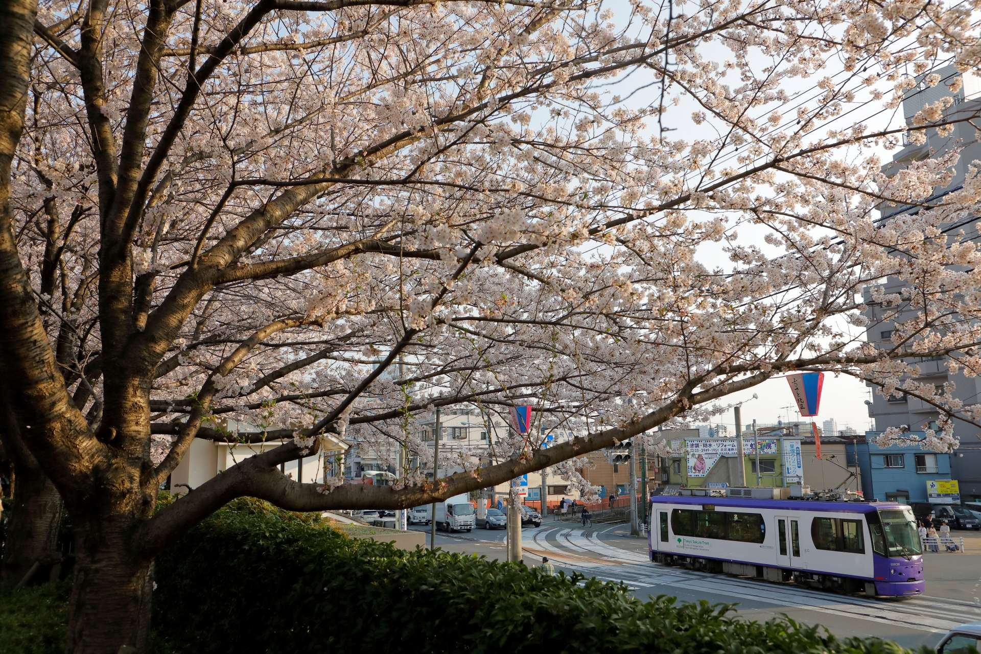 Toden seen through the cherry blossoms