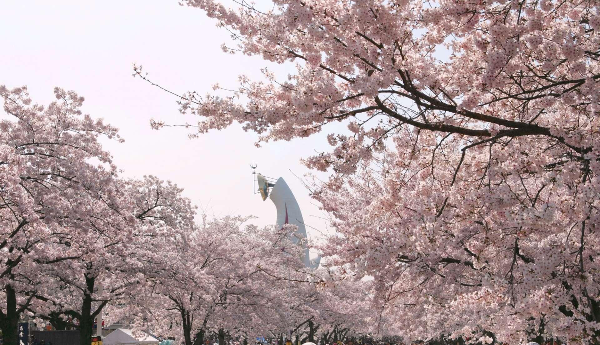 在盛开的樱花中看见太阳之塔