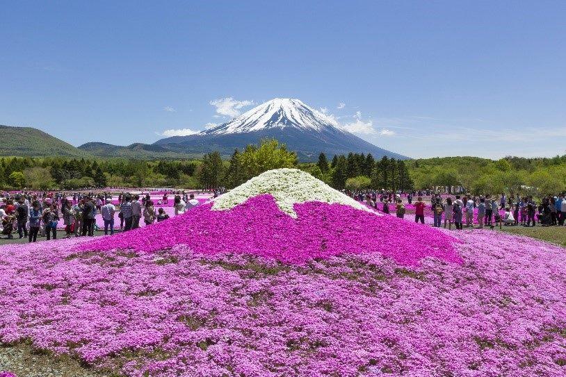 可以拍下以芝樱所打造的迷你富士山,与富士山本尊对照的美丽风景