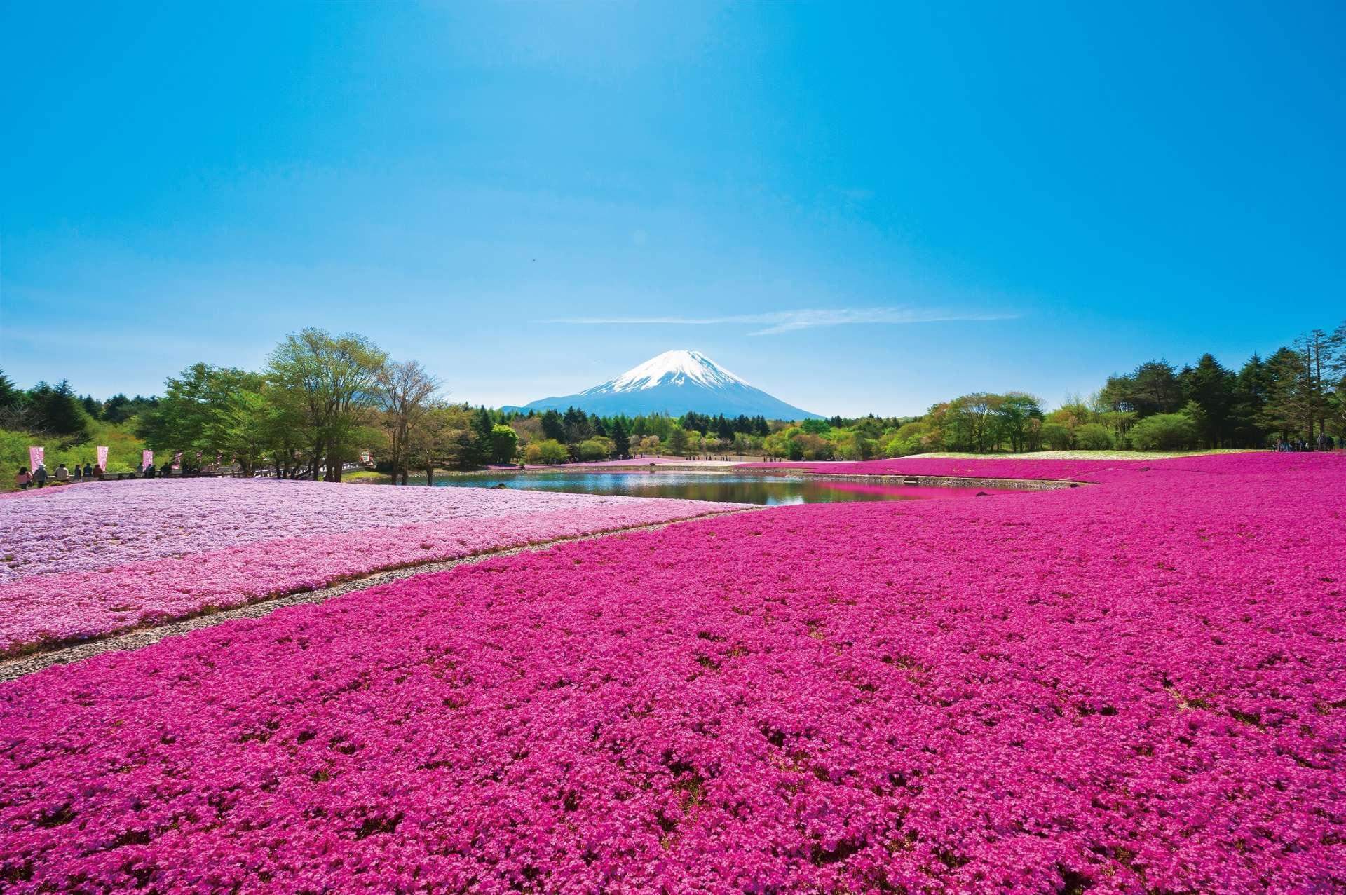 会场内共有8种芝樱盛开,可以欣赏到色彩缤纷的景致。