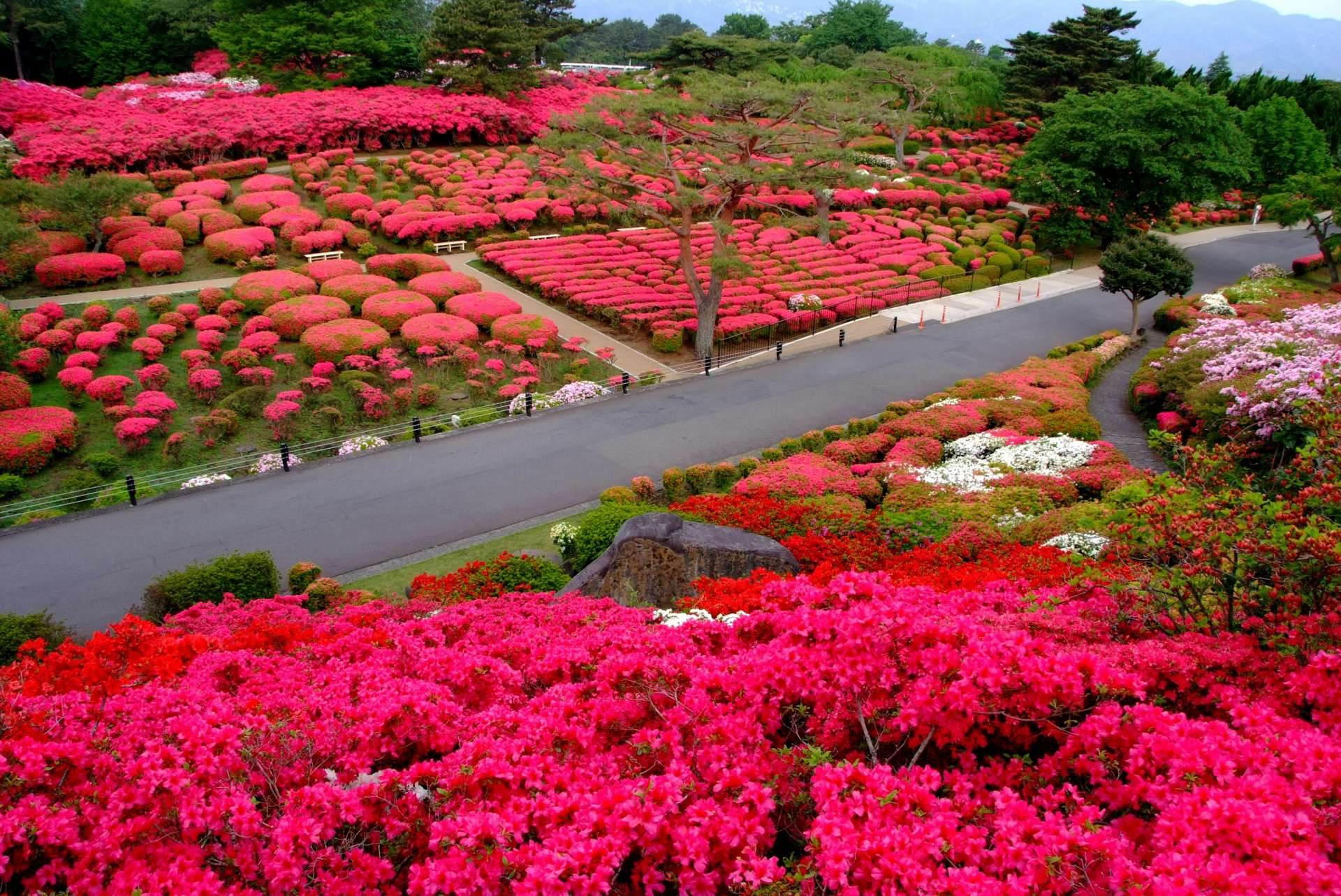 The azaleas spread out like a gorgeous carpet of red!