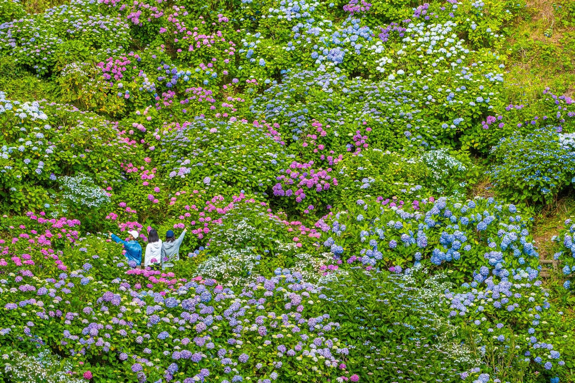 周圍360度全都是美麗的紫陽花!