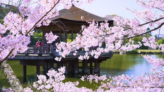 从大阪搭电车去赏樱~大阪近郊七大超美的赏樱景点!