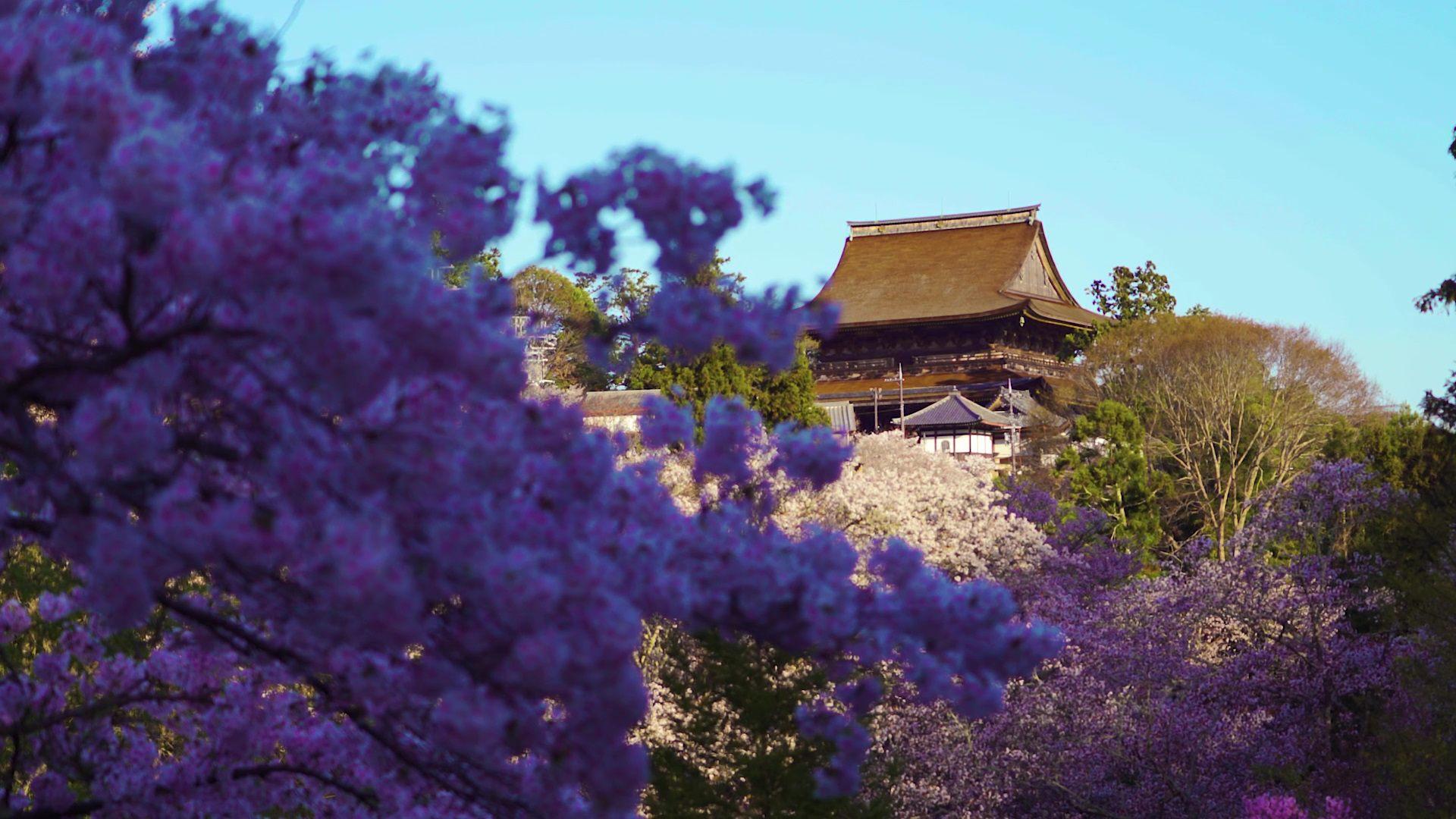 桜に囲まれた金峯山寺