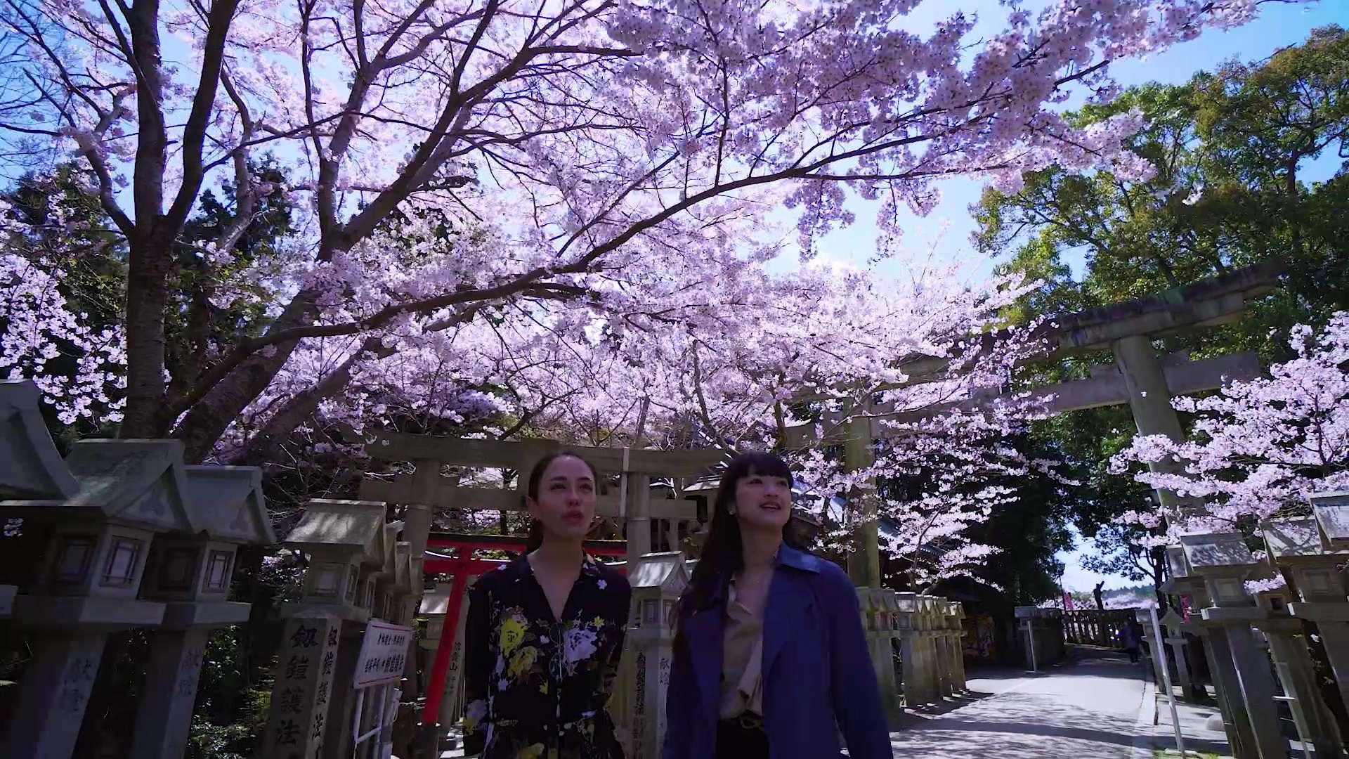 盛開的櫻花與石燈籠