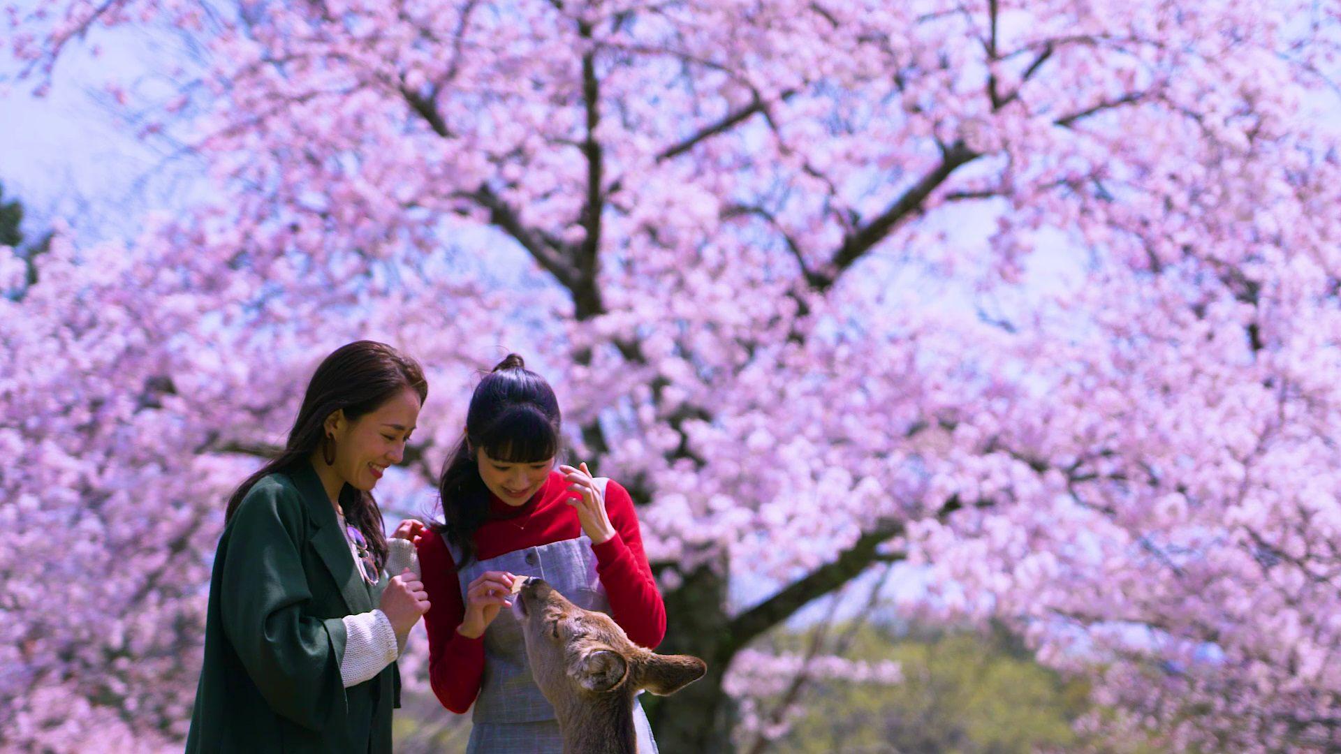 盛开的樱花与亲近人群的野生鹿群