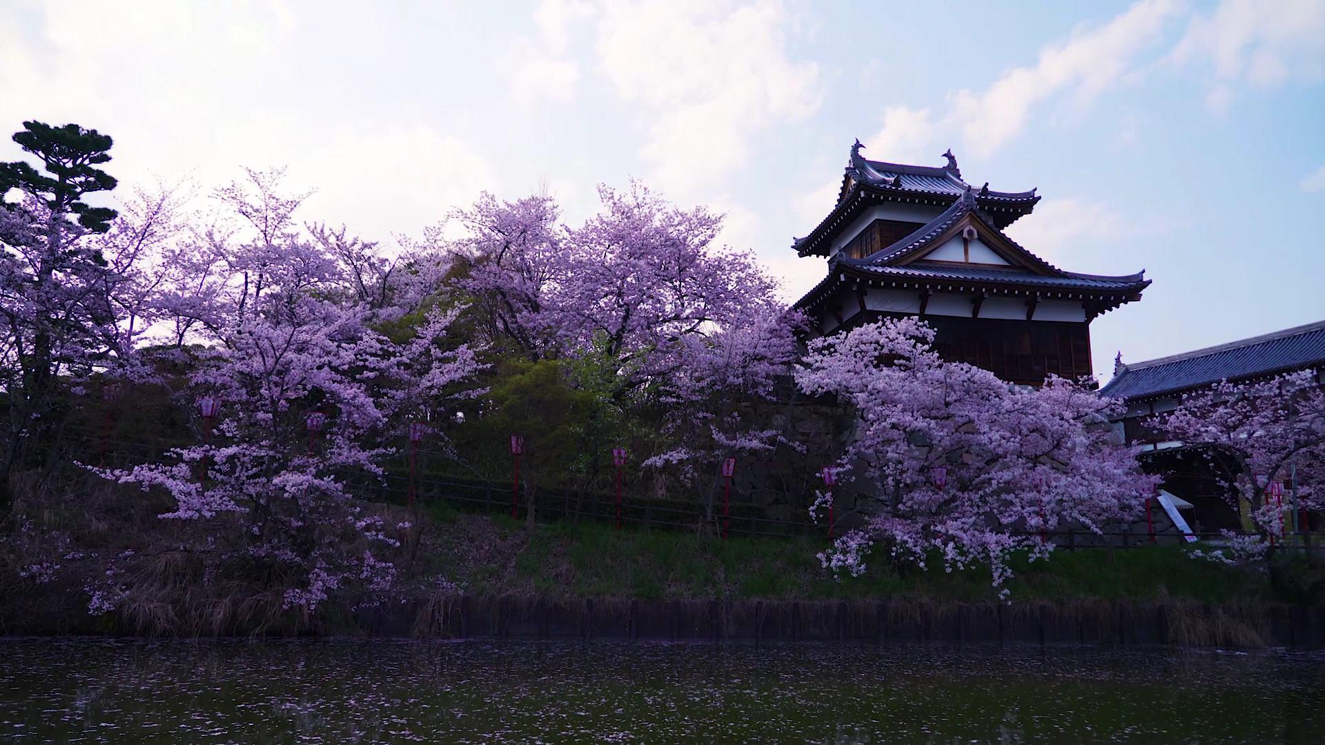 环绕在城迹一带的樱花树