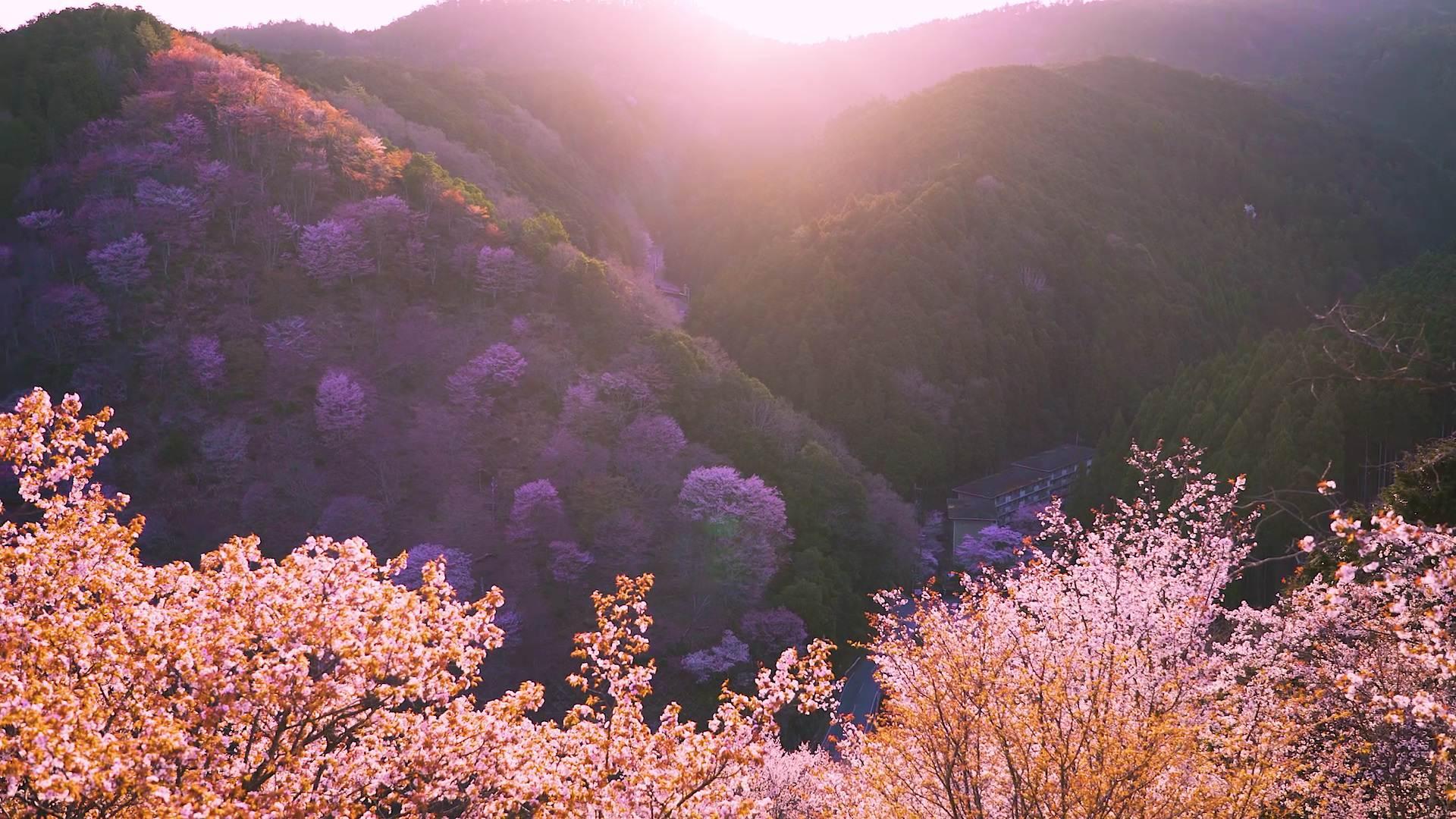 吉野山的樱花