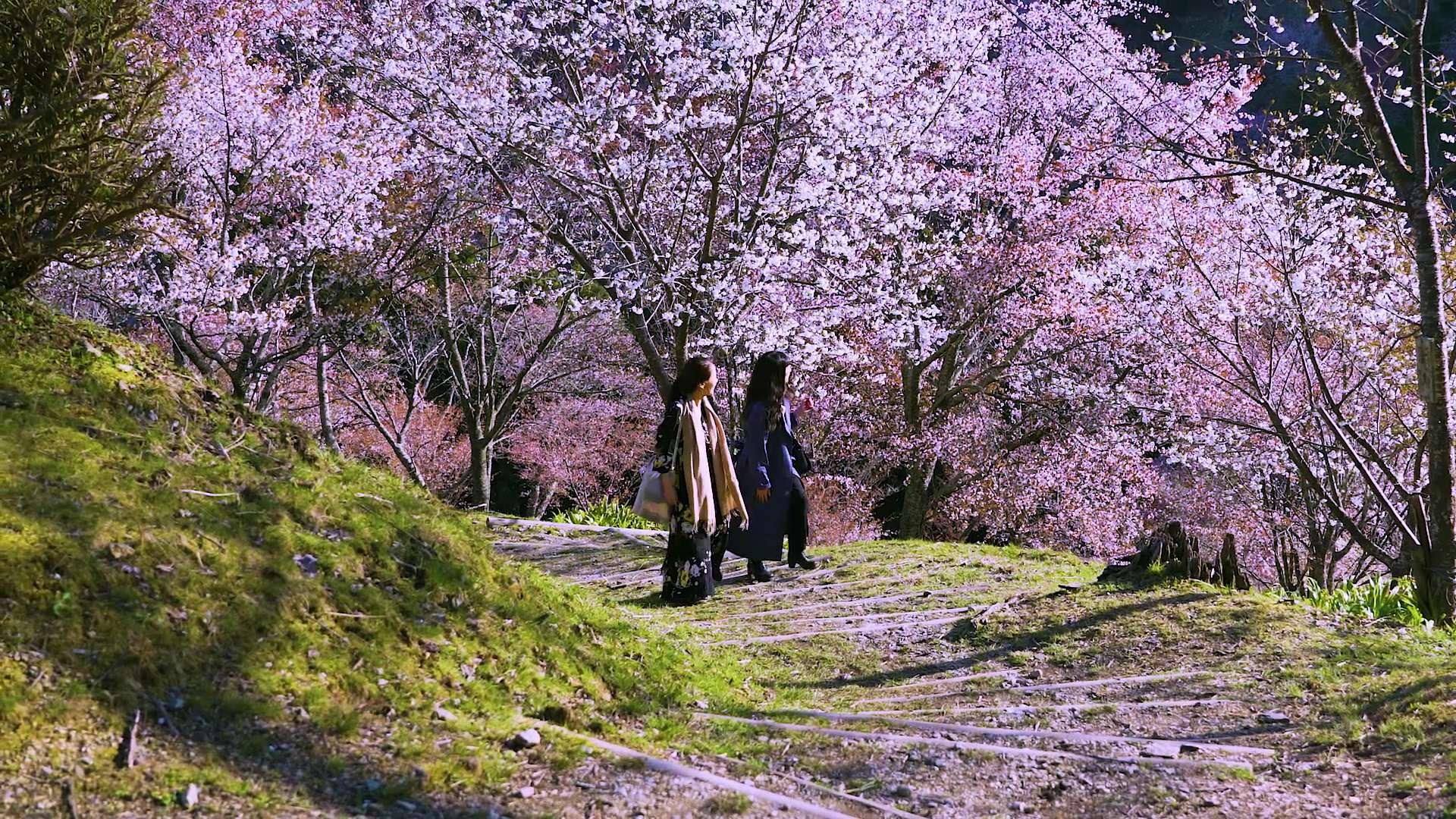 一边欣赏盛开的樱花一边享受健行乐趣