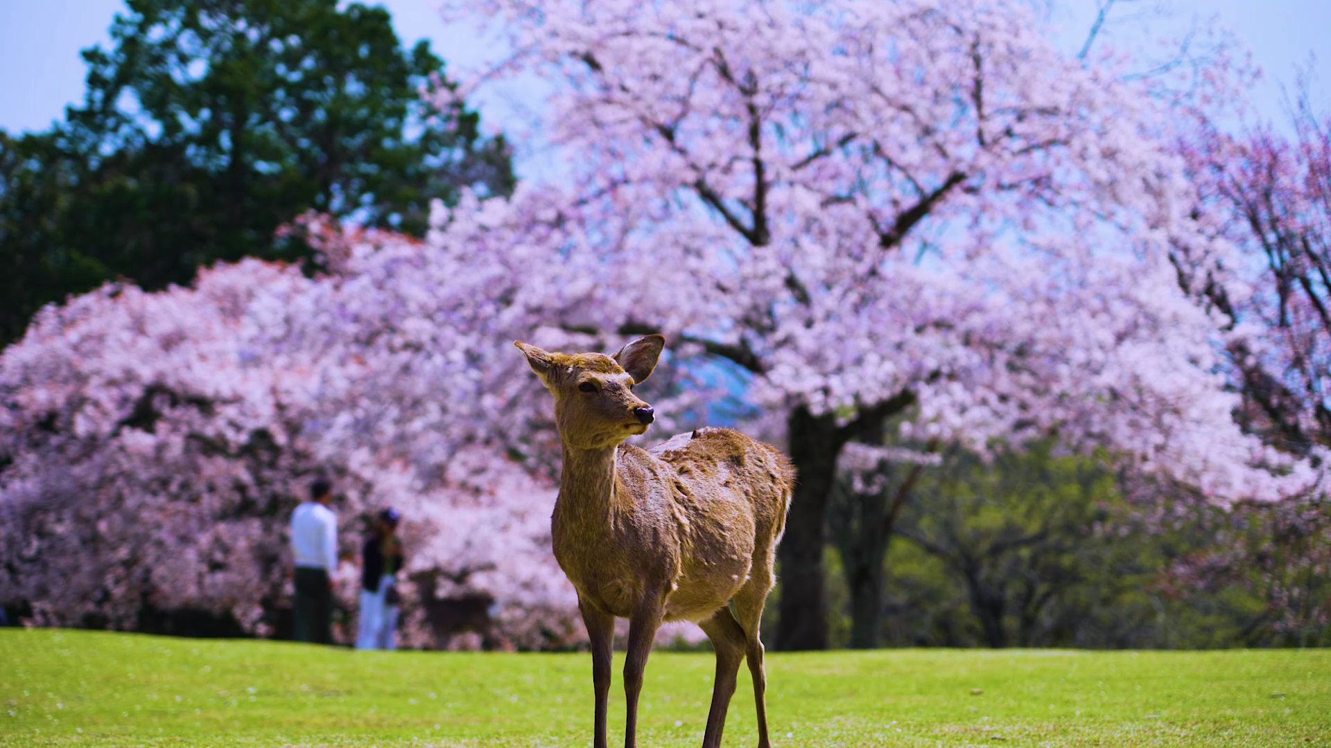 Cherry trees in full bloom form a backdrop to deer in Nara Park.