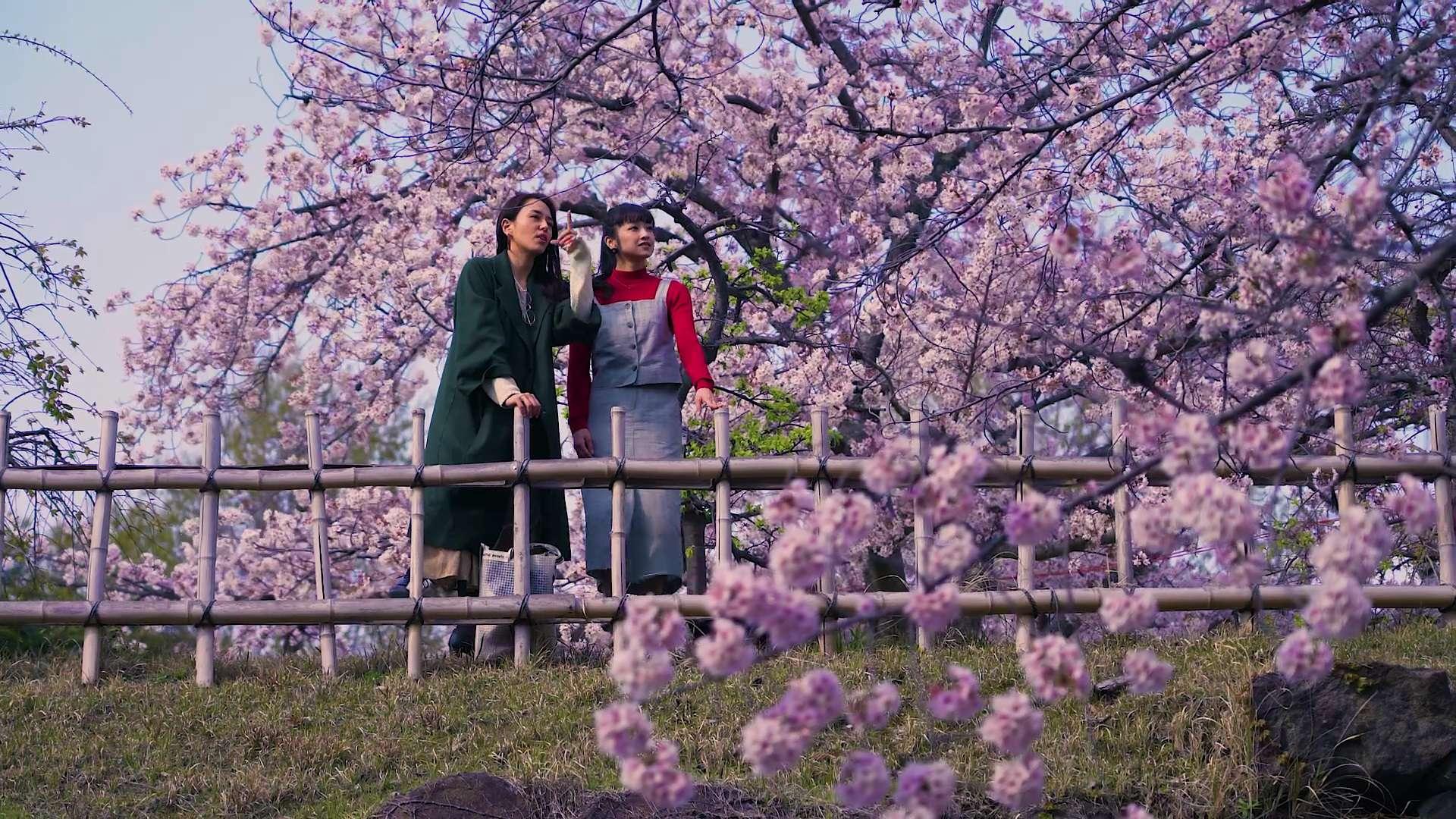 Cherry trees at Koriyama Castle ruins are seen in full bloom.