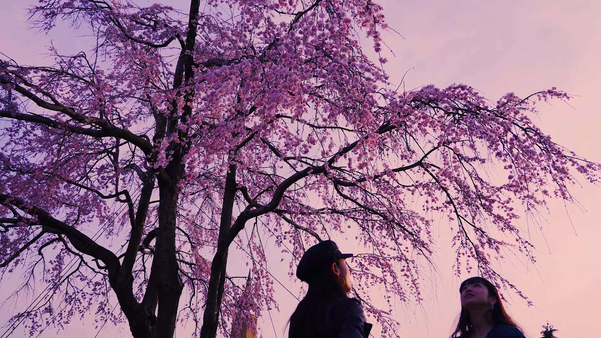 Kawazu-zakura cherry blossoms are seen in full bloom.