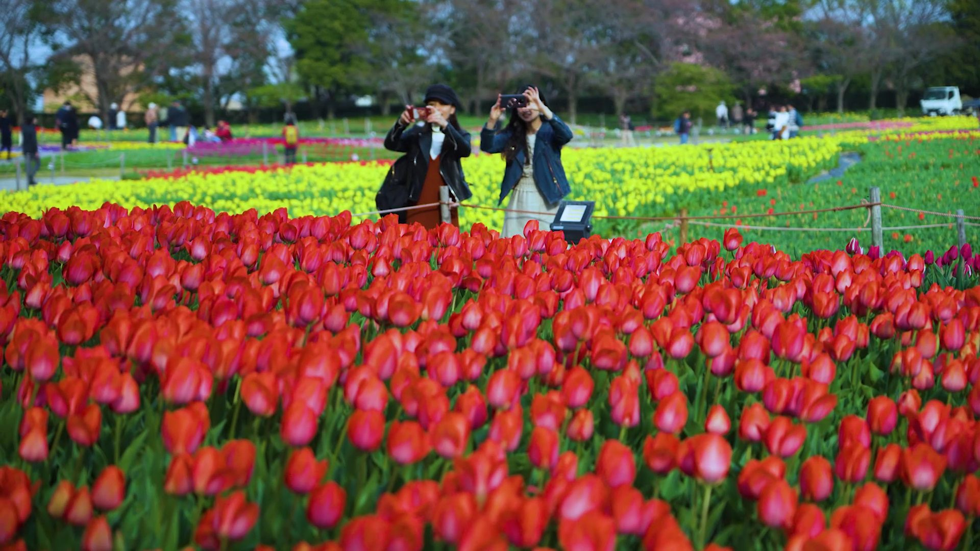 Tulips are photographed in full bloom.