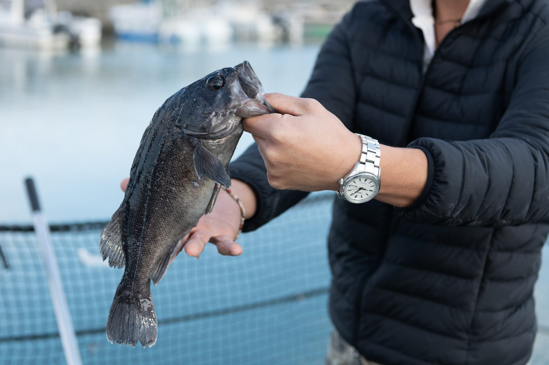 Black rodfish (Sebastes genus), a fish with a good appetite that readily nibbles on the bait and is easy to notice when it bites