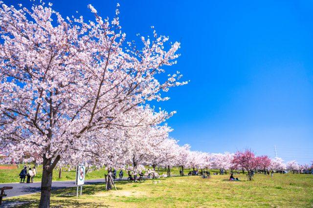 春天的樱花