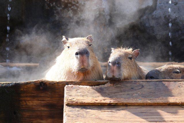 泡溫泉的水豚