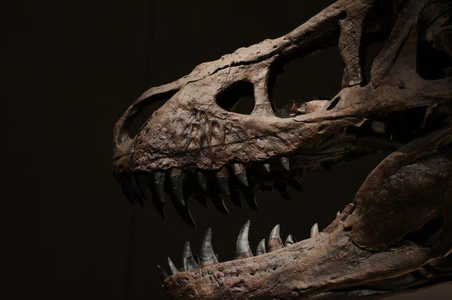 暴龍的骨骼標本
