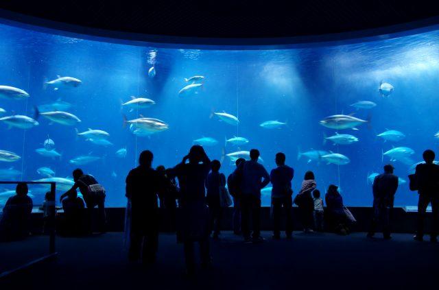 一群群黑鲔鱼回游其间的大水槽震撼力十足