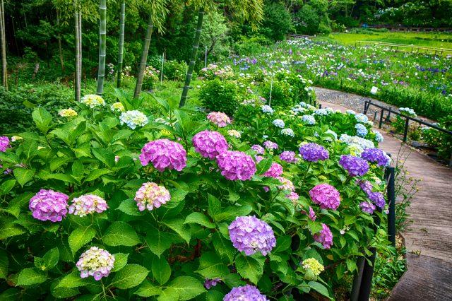 Hydrangeas and irises