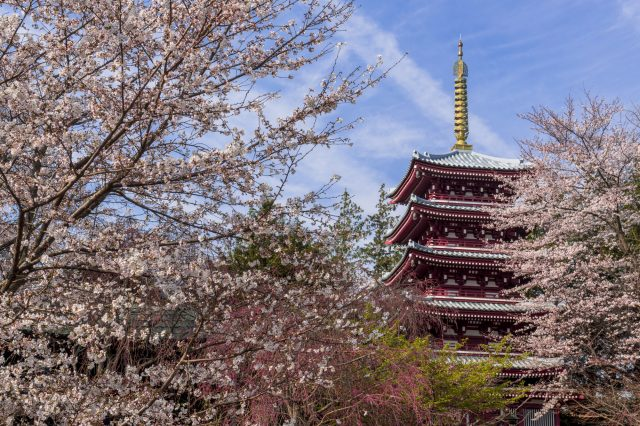 Five-storied pagoda and cherry blossoms
