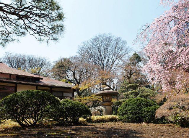 小石川后乐园 庭园一角的茶屋和枝垂樱