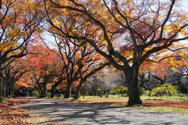 日本紅楓並木大道