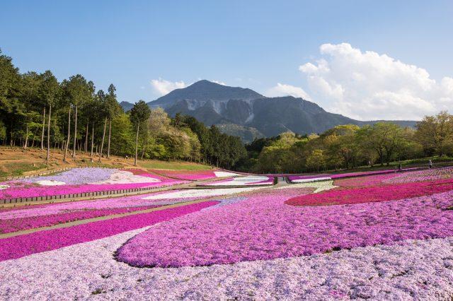 芝櫻與武甲山