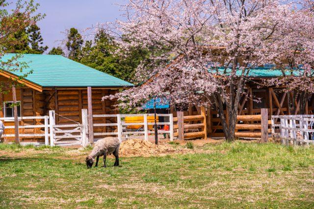 「親近牧場」的綿羊