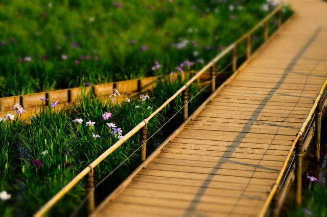 穿插於花菖蒲間的步道