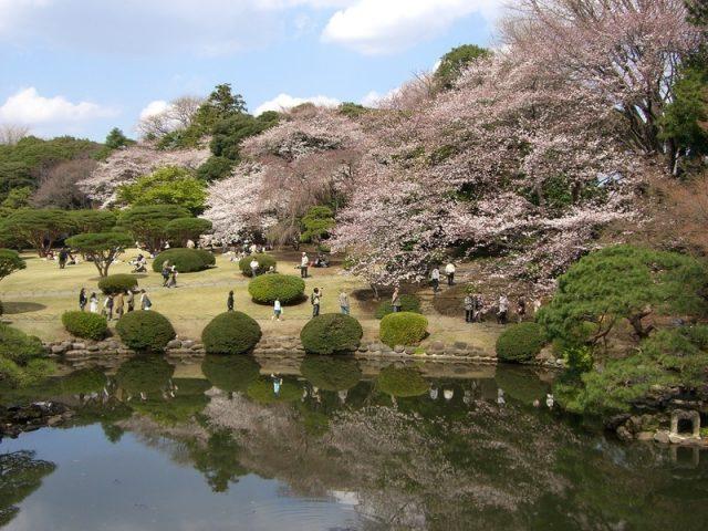 春天的櫻花