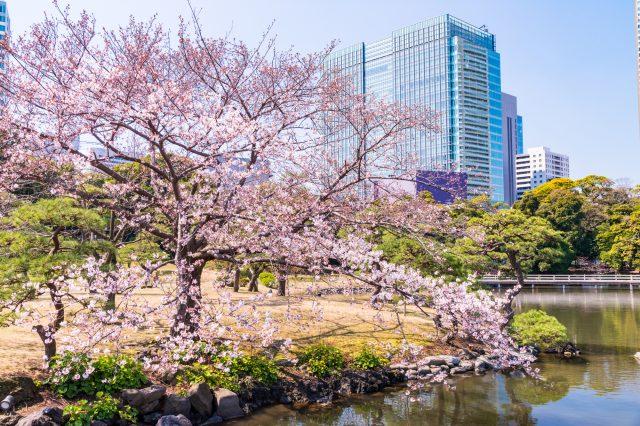 濱離宮恩賜庭園的櫻花