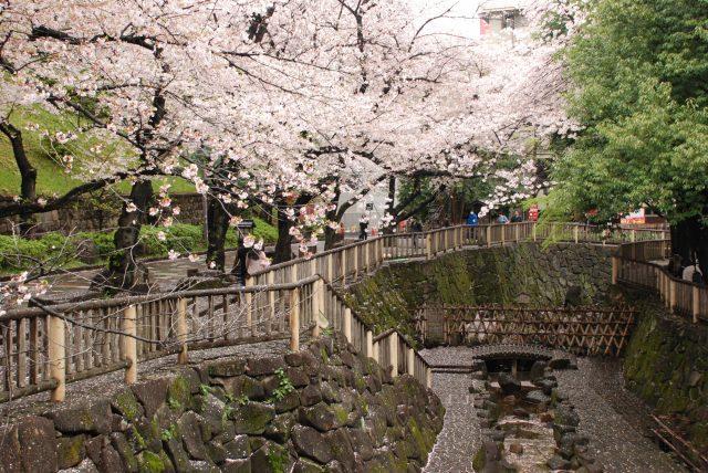 音无亲水公园的樱花