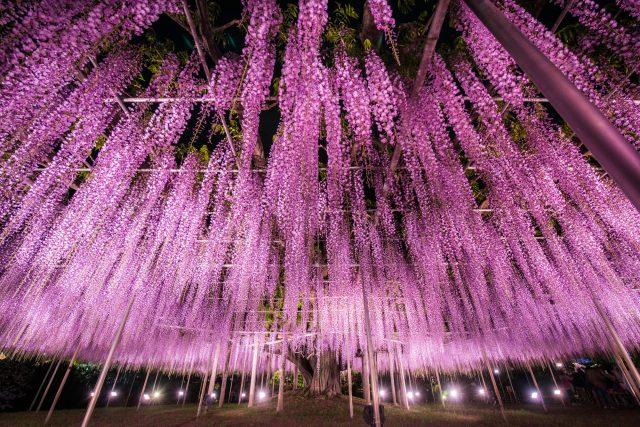 燈光裝飾下的大紫藤樹