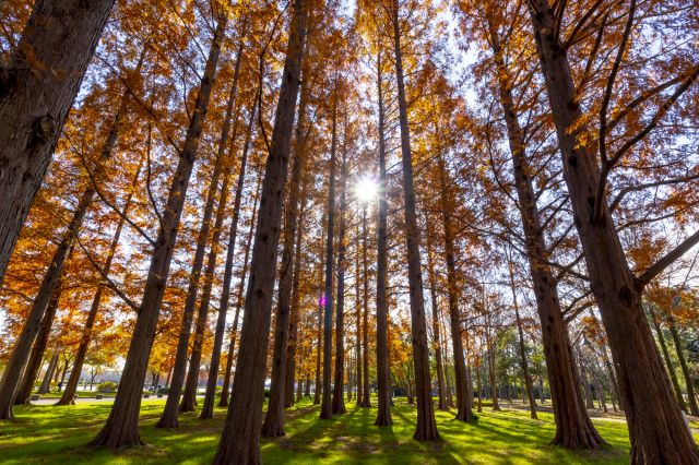 Metasequoia forest (fall)