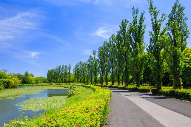 Row of poplar trees