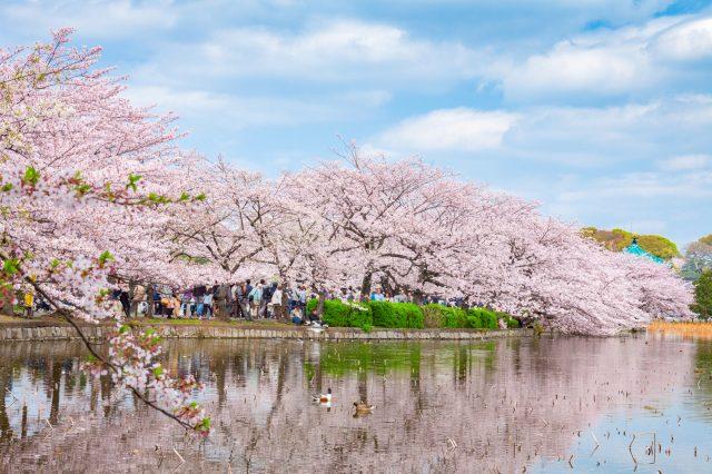 不忍池边的樱花并木
