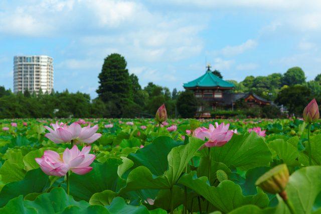 盛開在不忍池中的蓮花