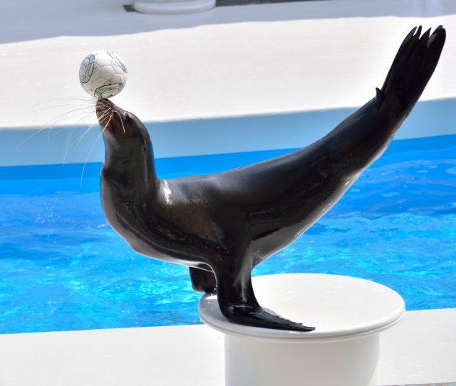 具有高度智能的海獅表演秀也非常有趣